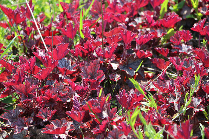 "Гейхера гибридная ""Harvest Burgundy"" (Heuchera x hybrida ""Harvest Burgundy"")"